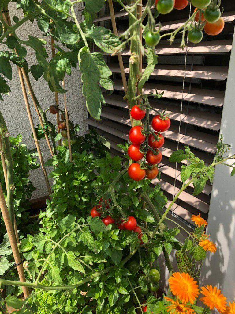 Tomaten und Ringelblumen. Im Hintergrund ist noch Basilikum sichtbar.
